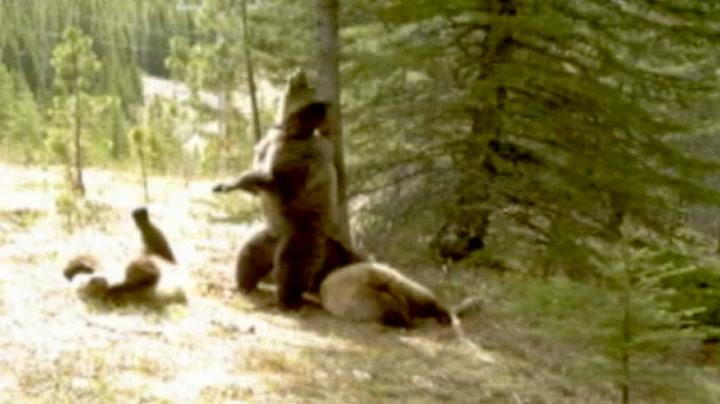 Her danser bjørnene rundt treet
