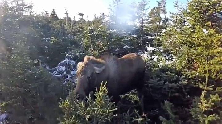 Uheldig elg gikk rett i jaktfella