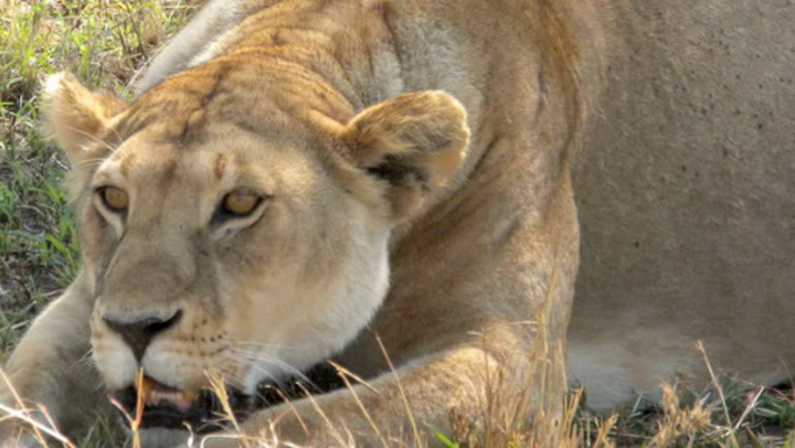 The Most Ferocious Man-Eating Lions | Science | Smithsonian