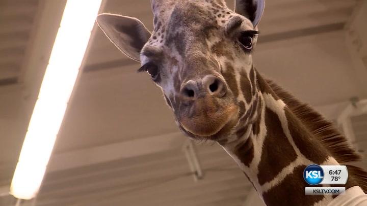 Stem Cell Treatment Offered For Injured Giraffe