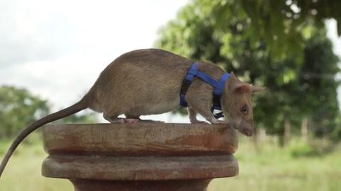 Una rata detectora de minas, premiada en el Reino Unido por su valor