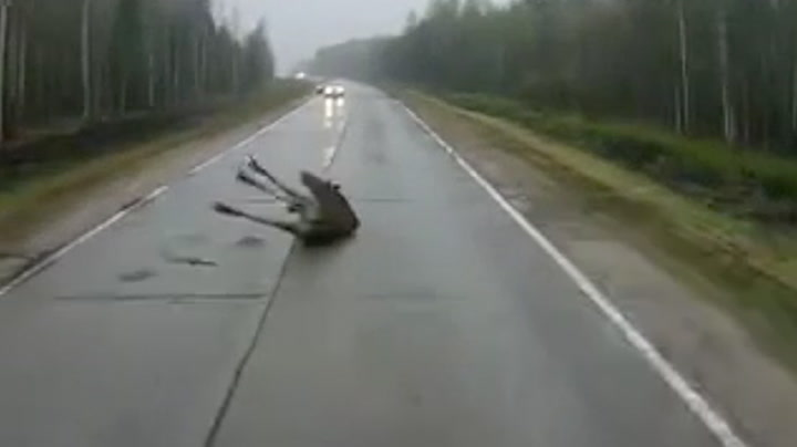 Elg kollapser på veien