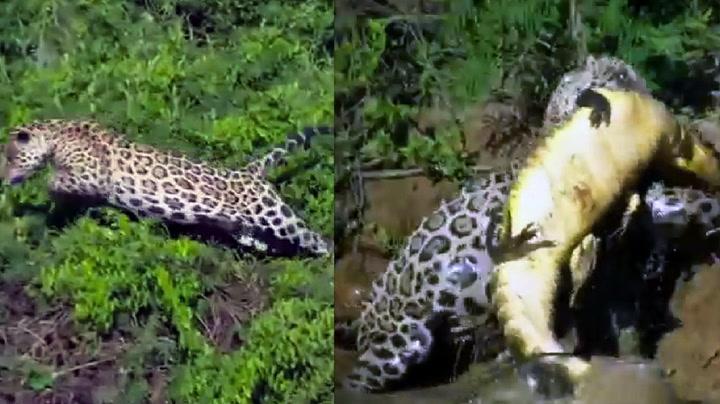 Jaguar med utrolig sprang - sjekk den fangsten!