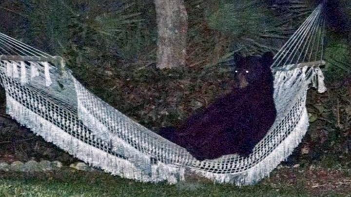 Svartbjørn tok seg en middagslur i hengekøya
