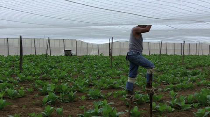 See How Shade Tobacco Is Grown In Cuba