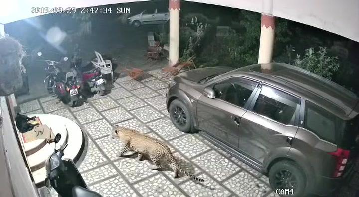 Un leopardo ataca a un perro que dormía en la puerta de casa