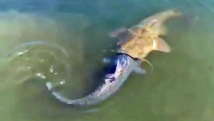 Kjempefisk gaper over mer enn den kan svelge
