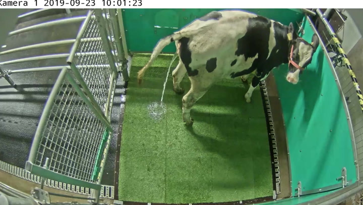 Researchers 'toilet-train' cows to reduce their waste emissions