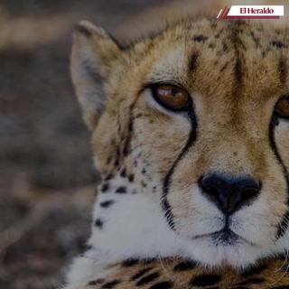 Día Internacional del Guepardo te mostramos algunos datos curiosos sobre este animal