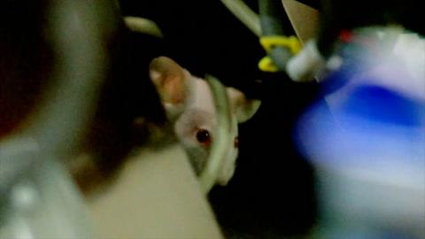 Congreso de Colombia paralizado por ratones vivos lanzados en paracaídas