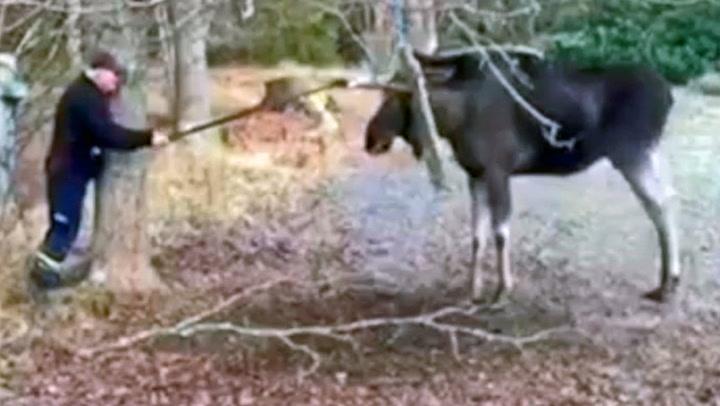 Her redder Leif (73) elgen fra knipa
