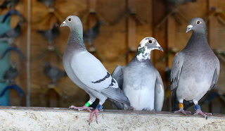 Pigeons fly from Victorville to Las Vegas as part of cross country relay