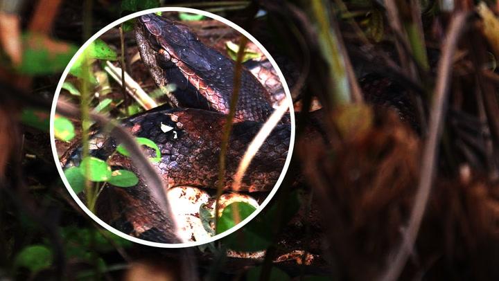 เจอได้ยาก งูกะปะ เฝ้ากกไข่ 32 ฟองไม่ห่าง นำปล่อยคืนสู่ธรรมชาติ
