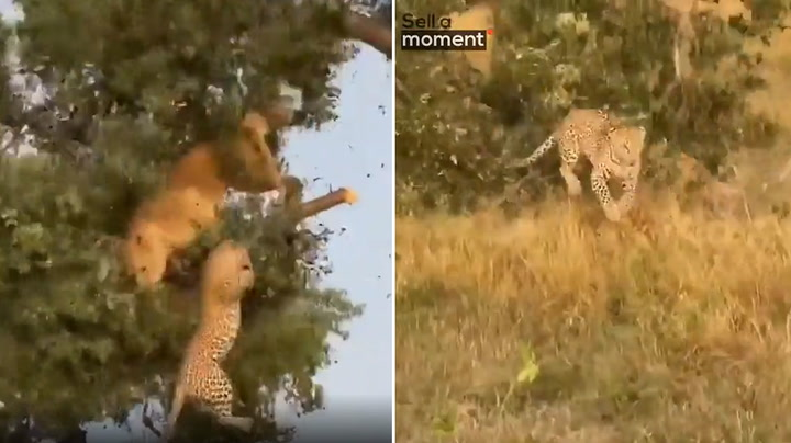 Lion and leopard crash out of tree while fighting over kill