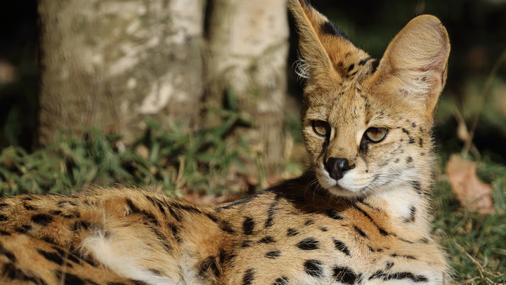 Click Play to Learn More About the Wild Serval
