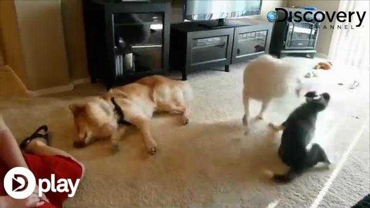 Denne hund smelter vores hjerte: Kan ikke holde sig vågen
