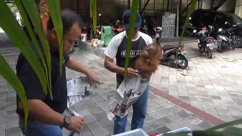 Rescatan a orangután contrabandeado en una maleta