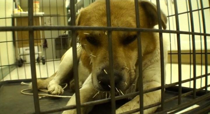 Hjemløs hund full av pigger - fikk endelig hjelp