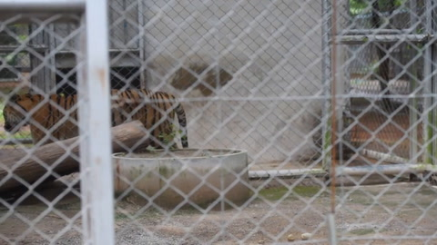 Carrera contrarreloj en Tailandia para salvar unos sesenta tigres confiscados a un templo