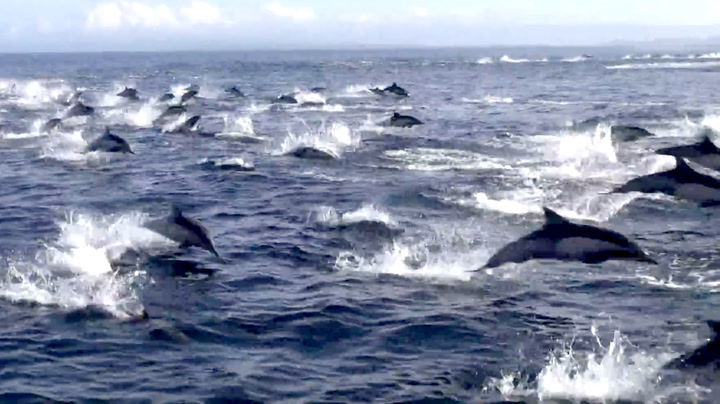 Vill jakt: Tusen delfiner flykter i vill panikk