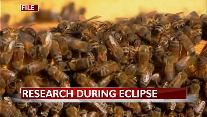 MU study: As people buzzed about solar eclipse, bees fell silent
