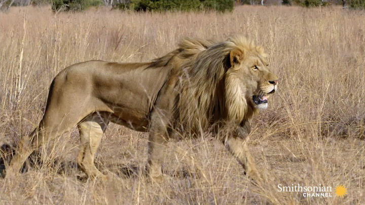 How Lions Choose Their Prey | Smithsonian