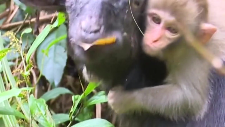 Livredd apekatt nekter å gi slipp