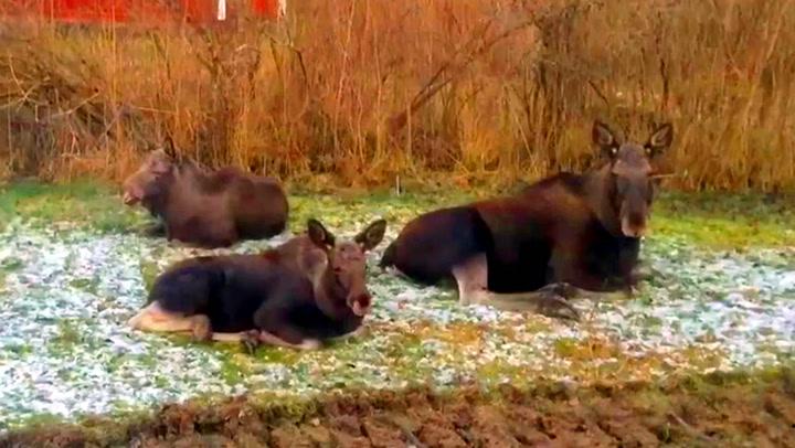 Svenske Sarah fikk besøk av fulle elger i hagen