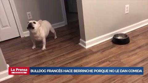 Bulldog francés hace berrinche porque no le dan comida