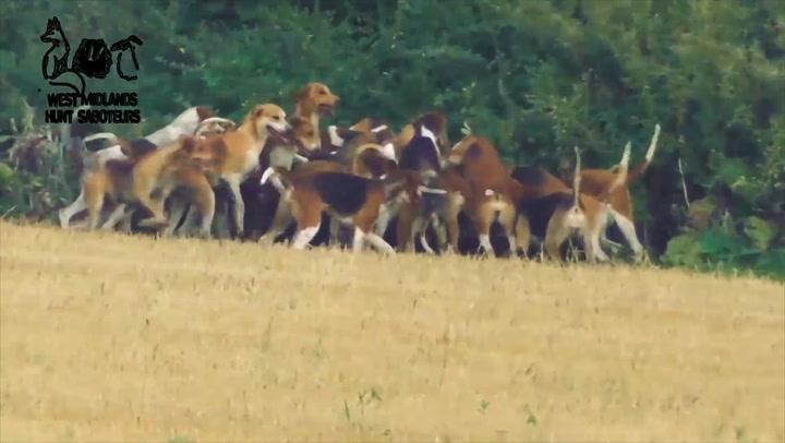 Disturbing moment pack of dogs tear fox cub to pieces on Warwickshire hunt