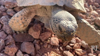 Tortoise Group of Las Vegas helps tortoises find homes