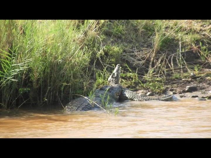 Big Crocodile Asserts Apex Predator Status, Kills A Smaller