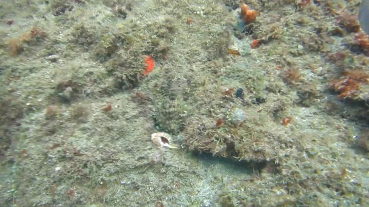 Nesten ingen ser hvor blekkspruten gjemmer seg