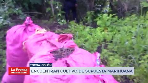 Encuentran cultivo de supuesta marihuana en Tocoa, Colón
