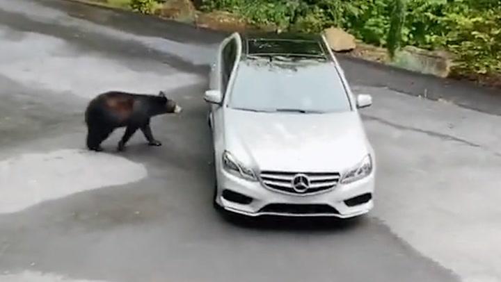 ¡Como si fuera suyo! Un oso abre la puerta de un coche ante la sorpresa de sus propietarios