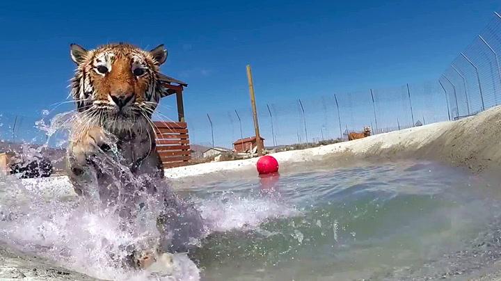 Denne katten elsker å bade!