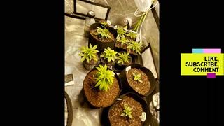Cannabis Clone Transplant