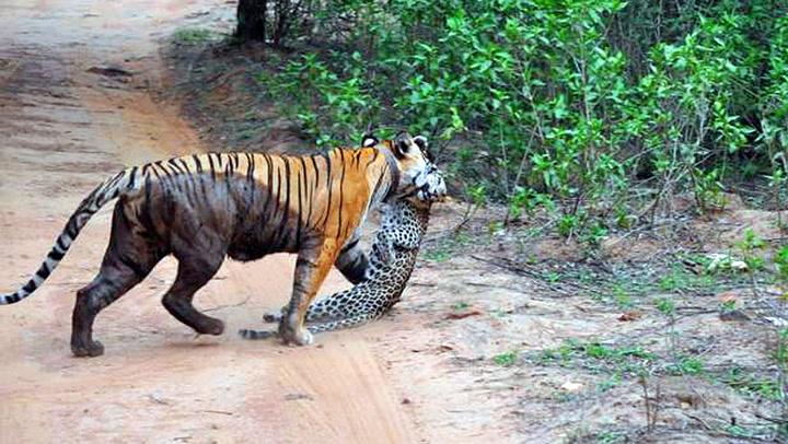 Filmet sjelden dødskamp mellom tiger og leopard