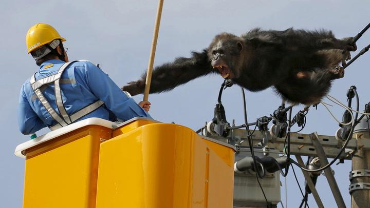 Rasende sjimpanse ga seg ikke uten kamp