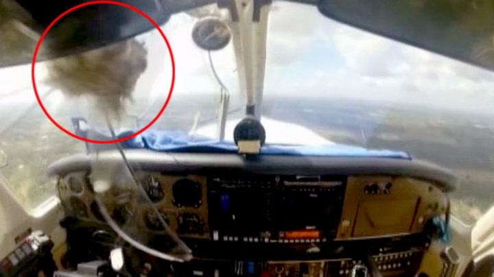 Her krasjer fuglen i flyvinduet