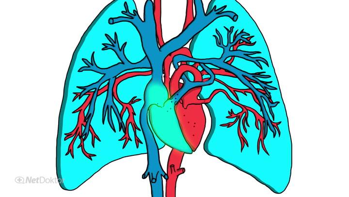 Lungenkreislauf – Aufbau und Funktion - NetDoktor