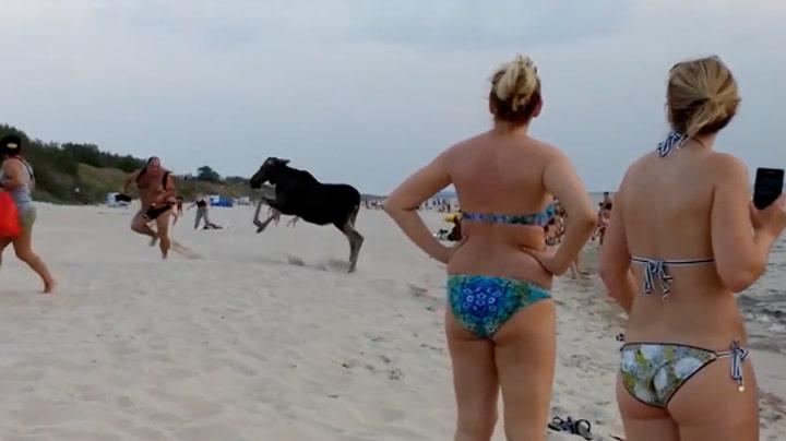 Strandgjester fikk uventet besøk av elgfamilie