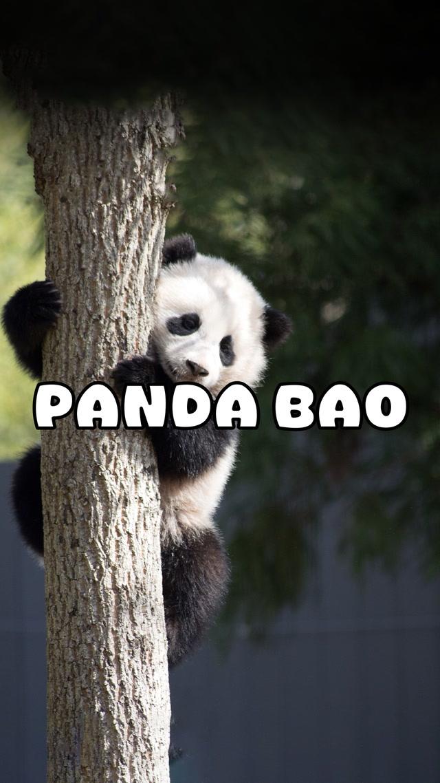 Şirinliğin bu kadarı fazla, sayın panda!