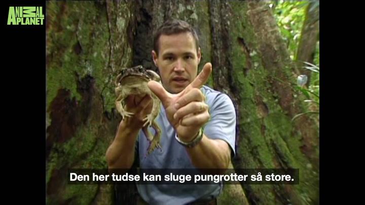 Gigantisk gift-tudse kan sluge pungrotter og fugle