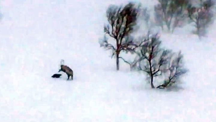 Norsk naturvideo imponerer: Jerv angriper rein