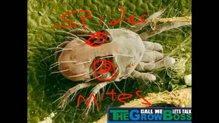marijuana Garden Science- All About Spider Mites with The Grow Boss