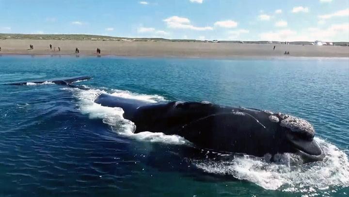 Spektakulær hval-bonanza i Argentina