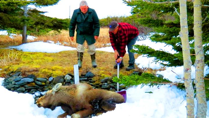 Elg i trøbbel trengte menneskehjelp