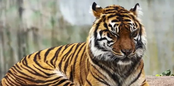 Tiger in Texas declared as world's oldest aged 25