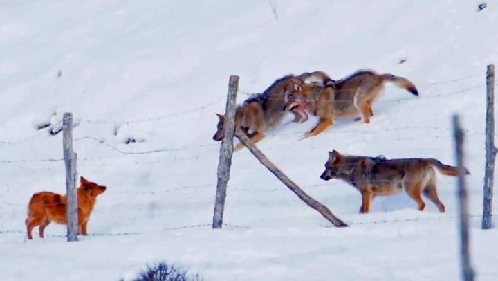 Blodtørstige ulver får ferten av nabohunden